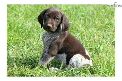 shippenville pa pointer boxer 1000 images about german shorthair pointer puppies on