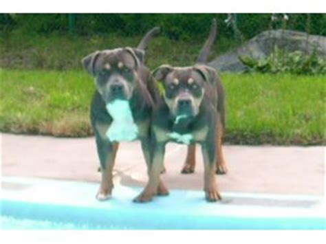 pitbull puppies for sale in pittsburgh pa pitbull breeders in pa