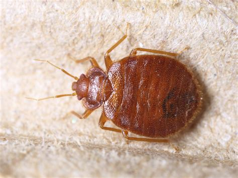 photo of bed bug bed bugs fort wayne allen county department of health
