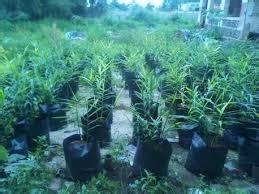 Bibit Bawang Merah Bantul bibit jahe merah sleman budidaya jahe merah bibit jahe merah manfaat khasiat tanaman cara