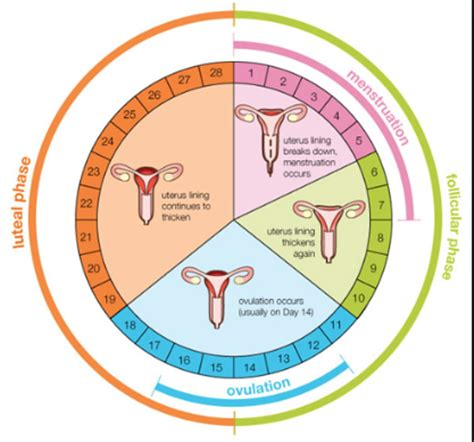 Calendar Day Calculator Ovulation Calculator And The Menstrual Cycle