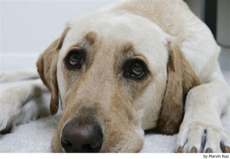 perros para vivir en un piso perros ideales para vivir en casas peque 241 as