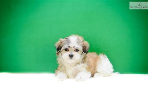shichon puppies for sale in ohio teacup shichon puppies for sale teacup miss shichon puppy for sale near columbus