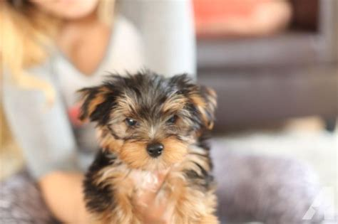 yorkie for sale seattle terrier puppy yorkie 12 weeks for sale in seattle washington