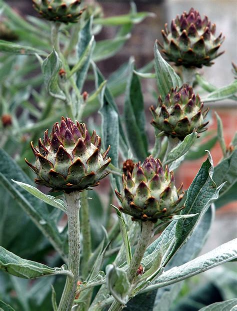 Cardoon: Kitchen Basics   Harvest to Table