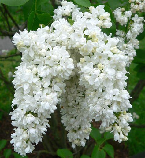 serenelle fiori serenella syringa vulgaris floricoltura varanese