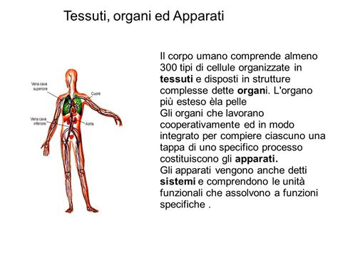 corpo umani organi interni corpo umano immagini organi il corpo umano posizione di