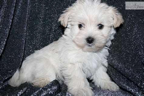 white maltipoo puppies pin poo maltipoo puppy for sale white on