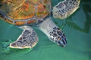 sea turtles pictures to print sea turtle print by thank you