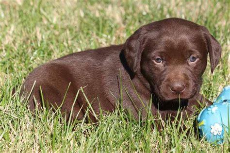 lab puppies for sale in az labrador retrievers for sale in arizona labrador retriever puppies in az lab pups in