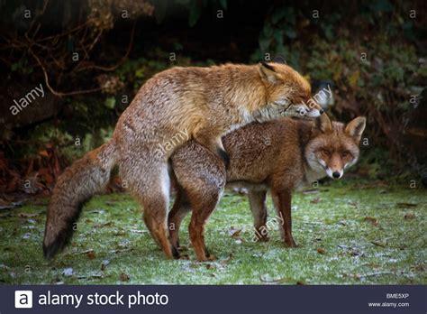 backyard wild animals mating foxes kent garden united kingdom wildlife wild