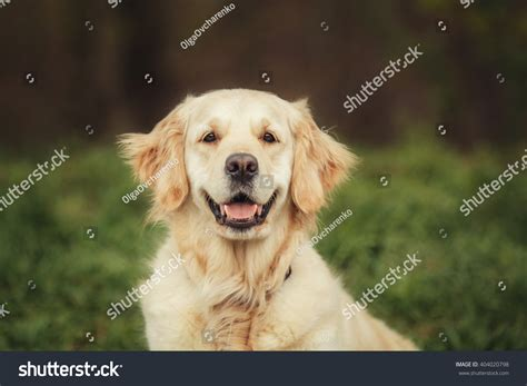 golden retriever logo golden retriever stock photo 404020798