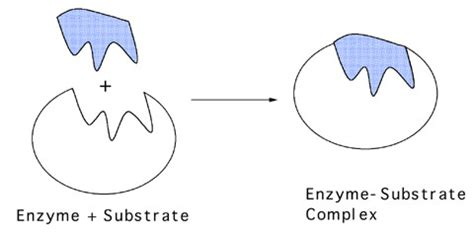 tutorial questions on enzymes thhs bio enzyme quiz proprofs quiz