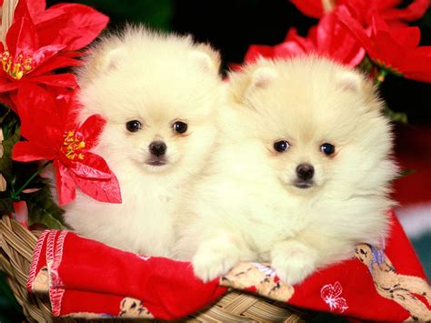 cute christmas puppies  dogs  christian wallpapers