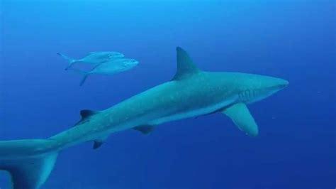 dive blue scuba diving wiht blacktip reef shark belize blue
