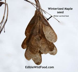edible food 187 maple tree seeds great survival food