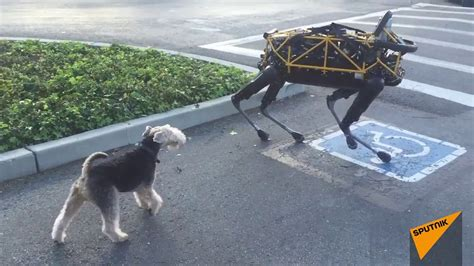 real pet dogs real meets boston dynamics robot for time