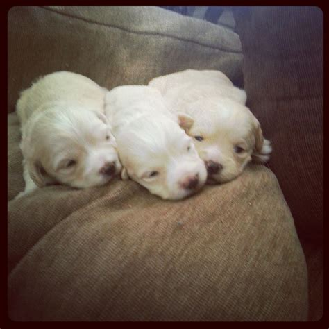 poodle puppies for sale poodle puppies for sale auto design tech