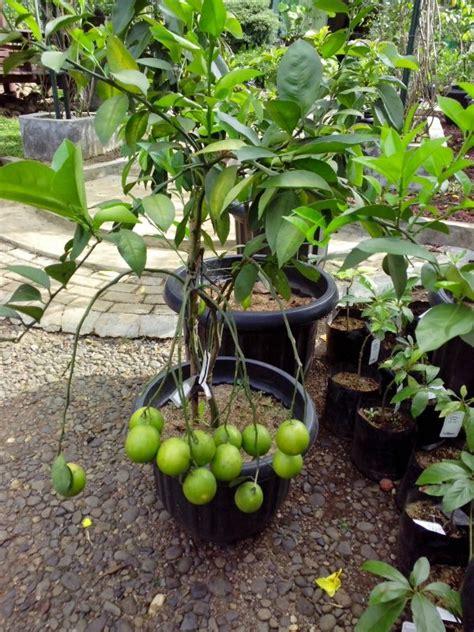 Bibit Buah Mentega budidaya tanaman buah dalam pot yang mudah dan
