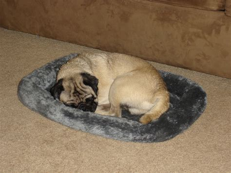 bed pugs adorable pug sleeping in bed about pug