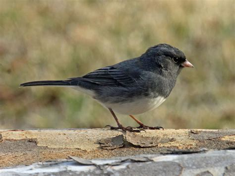 image gallery slate colored junco