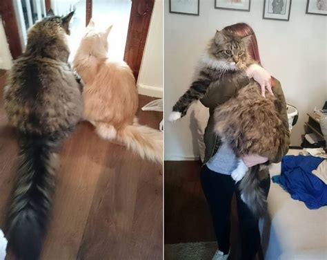 world s biggest house cat world s biggest maine coon watches over his tiny brother page 3 of 3 heroviral