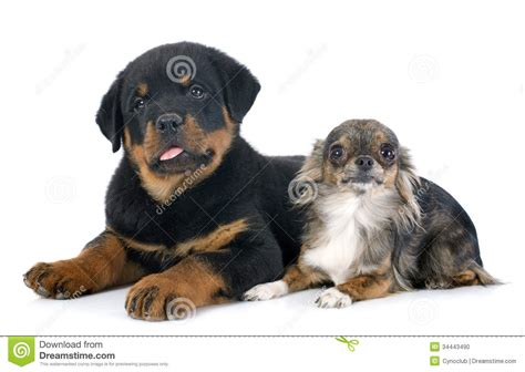 chihuahua rottweiler puppy rottweiler and chihuahua stock photo image 34443490