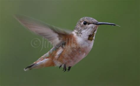 rufous hummingbird in waukesha county wisconsin on october