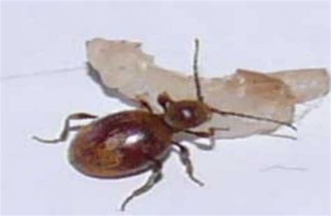 biscuit beetle in bedroom rove beetle empire pest control london