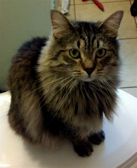 Norwegian Forest Cat Vs Maine Coon   Cat and Dog Lovers