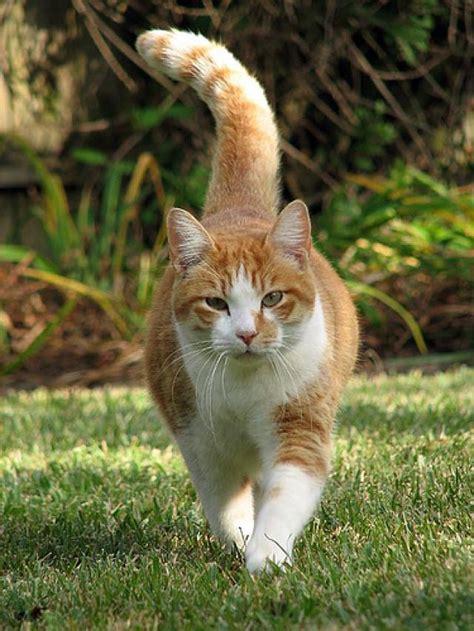 imagenes de gatas blancas ranking de el curioso mundo de los gatos 50 curiosidades