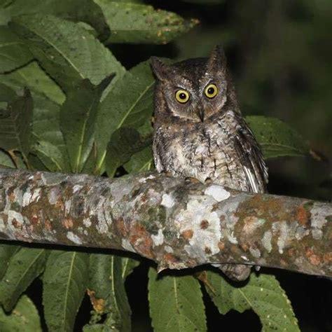 scientists identify new owl species world news