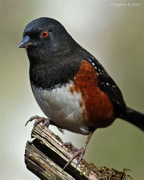 spotted towhee feathered friends pinterest