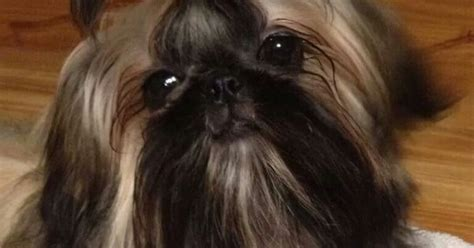 how does a shih tzu live beautiful shih tzu beautiful black gold and colors
