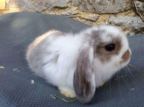 gabbia coniglio nano prezzo coniglio ariete nano conigli nani