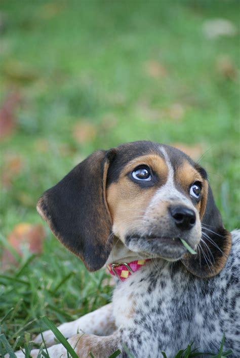 bluetick beagle puppies blue tick beagles breeds picture
