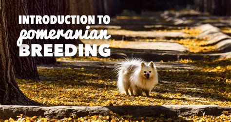 how to breed a pomeranian pomeranians a must read introduction