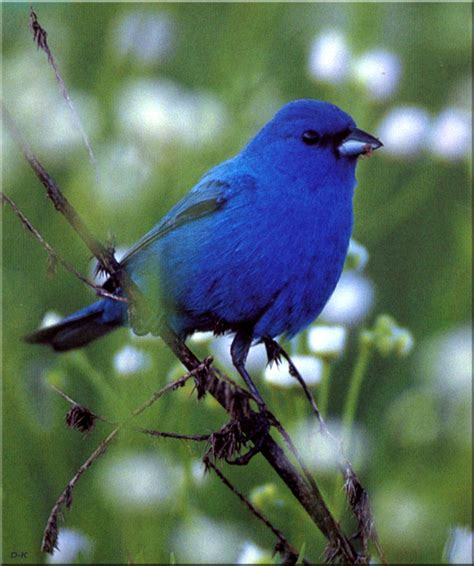 birds of north america indigo bunting male image only
