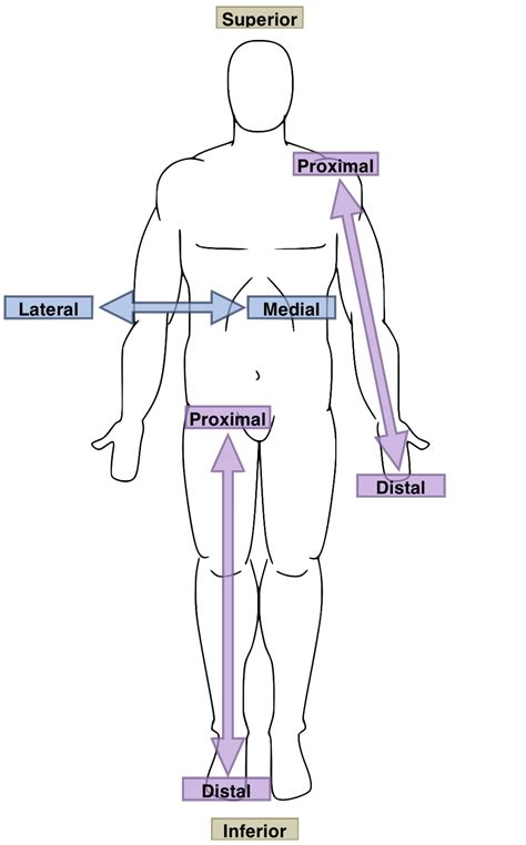 anatomical position diagram file anatomical directions png