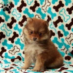 shirley pomeranian pomeranian puppies for sale in de md ny nj philly dc and baltimore