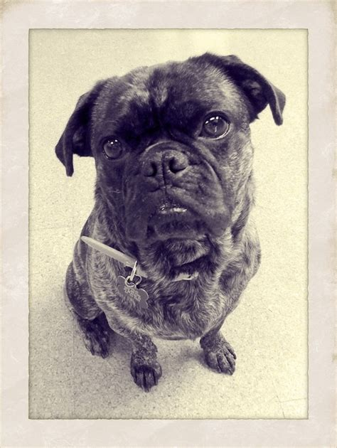 lifespan of a boston terrier pug mix 22 best buggs pug boston terrier hybrid images on pug dogs doggies and