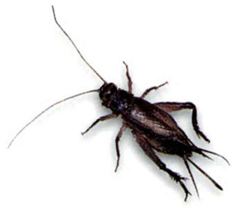 crickets general exterminating