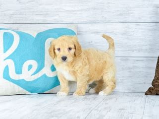 mini goldendoodles orlando puppies for sale in florida buy teacup small breeds