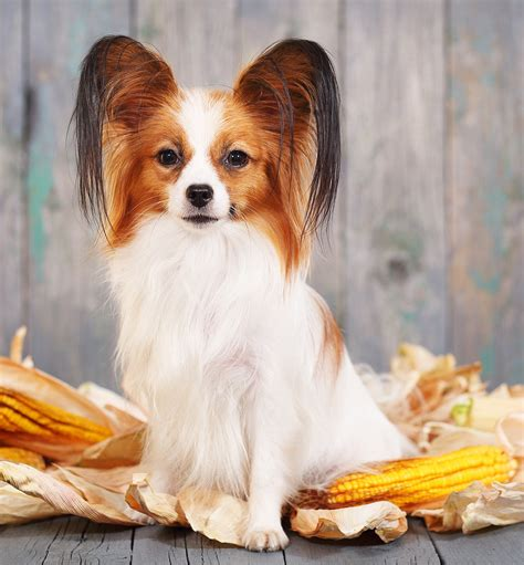 can dogs corn can dogs eat corn on the cob canned corn or corn kernels