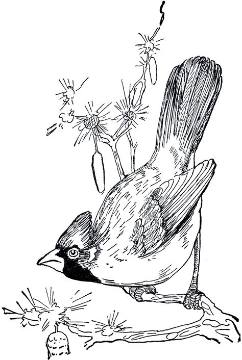 retro drawing vintage cardinal drawing the graphics fairy