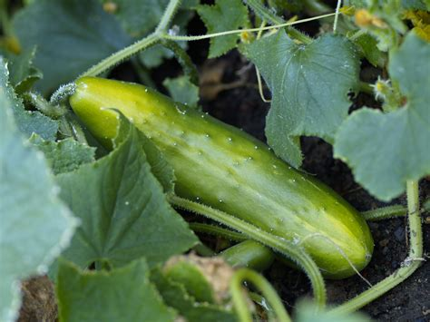 Cucumber Garden by How To Prepare Soil For A Vegetable Garden Garden Guides