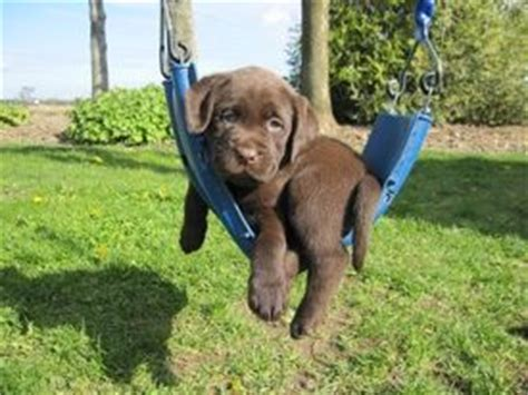 swing labs 1000 ideas about chocolate lab puppies on pinterest lab