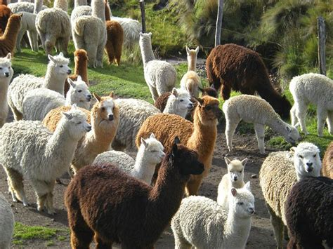 Gorgeous Alpaca From by A Flock Of Alpaca Animals In A Herd Or Pack