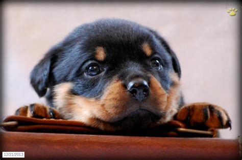 black rottweiler puppies for sale rottweiler puppies for sale 20 hd wallpaper dogbreedswallpapers