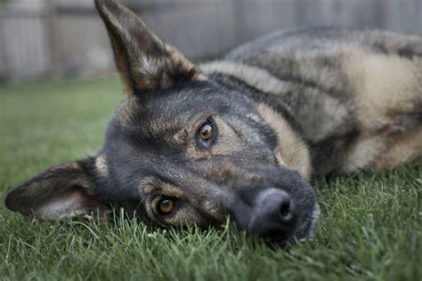 puppy growing pains 1000 images about german shepherds on german shepherd names german
